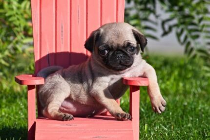 Wanted: Pug Puppy :)