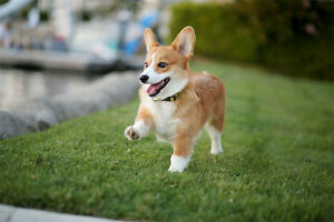Looking for a Corgi breeder in the Maritimes.