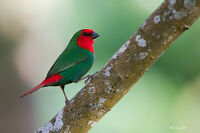 red head parrot finch