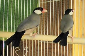 Java Finch pair