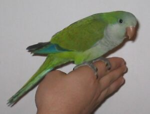 baby green quaker parrot baby handfed tame with small free cage