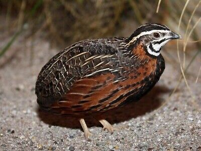 12 Harlequin Quail Hatching Eggs, Quails/Partridges/Chickens
