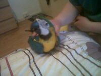 FREE Blue & gold macaw