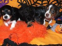 Long hair Dachshund puppies- ONLY1 LEFT!