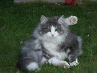Missing elderly Norwegian Forest cat