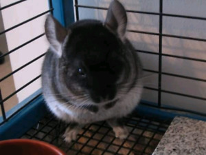 Wanted: a pair of chinchillas