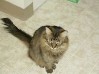 WANTED---Looking for a female Maine Coon kitten