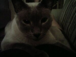 Male Blue Point Siamese Needs new Home