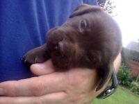 Chocolate Labrador Puppies Available - Donation to Dog Trust Requested