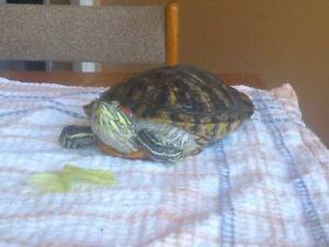 Red Eared Slider Turtle for FREE