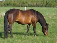 Quiet horse for half lease at lovely stable
