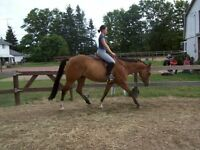 """LOOKING FOR GELDING SOLD """"LEGO"""" to albin area"""