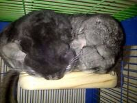 2 Chinchillas For Sale (with cage)