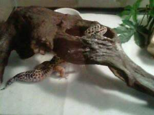 Leopard gecko with enclosure