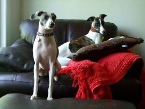 Italian Greyhound and Whippet spayed females