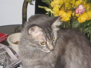 Missing gray male cat