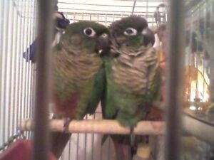 Baby Maroon Bellied and Green Cheek Conures