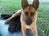 Farm Raised German Shepherd Puppies