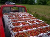 ~!!! -- Strawberry Pickers Wanted -- !!!~