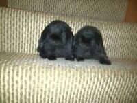 two mini lop male rabbits for sale,6 month old,black color