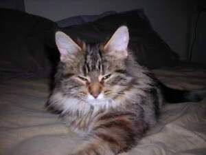 Momo - Lost Female Cat - Brown, Red and Black Ragdoll