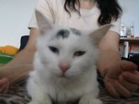 Blanche Neige(Roxy), une chatte exotique a donner