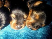 Yorkshire Terrier Puppies - 2 girls & 2 boys available - Stockport £425. Stockport, Cheshire SK2