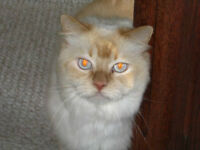 Lost in Deer park RD Large fixed Flame point Himilayan male cat!