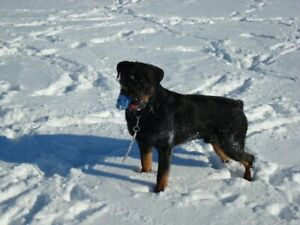 Looking for a reputable Breeder, of Rottweillers