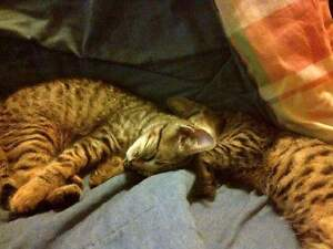 2 male kittens 3 months old, free to good home!