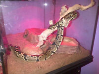 Male Ball Python and Terrarium with stand