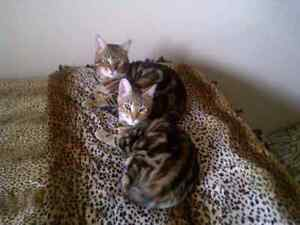 PUREBRED marble  BENGAL KITTENS  are BORN FINALLY