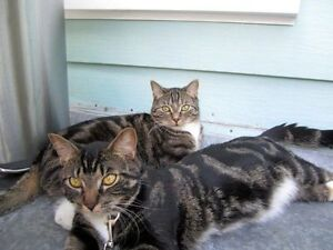 FREE - Two exotic & affectionate adult cats - declawed