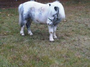 Mini Horse For Sale