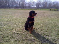 Dog Walking & Basic training available at affordable prices!