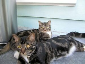 FREE - Two exotic & affectionate adult cats Cambridge Kitchener Area image 1