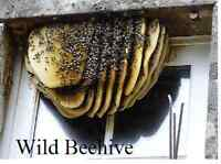 Honey Bee Rescue and Removal