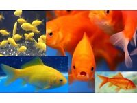 "Comet Goldfish for sale *Super price!* 2"" - 6"" 