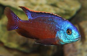 3 Full Size Adult Male African Cichlids for sale