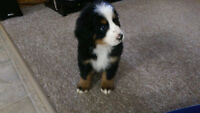 Adorable Purebred Bernese Mountain puppies for sale