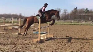 Handsome and well schooled 16.1hh  2007 OTTB gelding for sale Kingston Kingston Area image 5