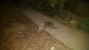 ***CAT SPOTTED*** Dilute Calico