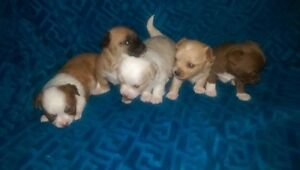 Pure Bred Chihuahuas For Sale!!!