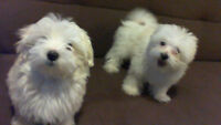 2 Male 14 week old Maltese Pups - NOW PENDING!