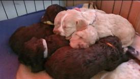 Sprockerpoo pups