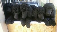 Gorgeous Registered Black Male Standard Poodle Puppies
