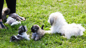 F/M tiny miniature Imperial Shih tzu puppies ready to go!
