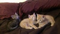 Free kittens ready to go to a new home Lac La Biche/Boyle