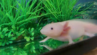 Axolotl's to buy or sell in Ontario and Canada!