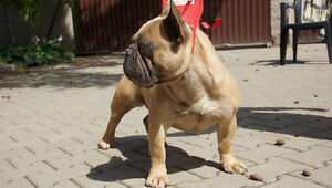Beautiful French Bulldog for Sale Retired 1 year old !!!!!!!!